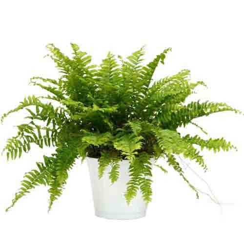 Fashionable Fern Arrangement in a Ceramic Planter