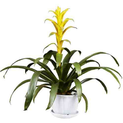 Captivating Present of Bromeliad Plant in a Ceramic Base