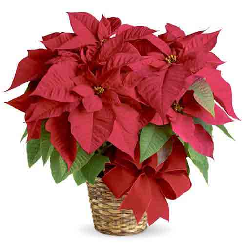 Elegant Poinsettia Plant Gift for Christmas